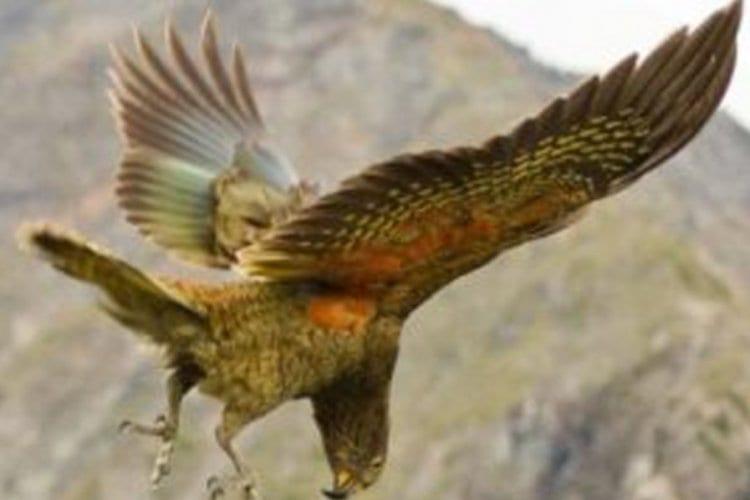 Photo of Je vous présente le perroquet Kéa de Nouvelle-Zélande qui par un appel jovial provoque le rire de tous ses compagnons!